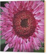 Fancy Pink Daisy Wood Print