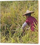 Farmer Harvesting Rice On The Terrace Wood Print