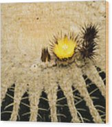 Fascinating Cactus Bloom - Soft And Fragile Among The Thorns Wood Print