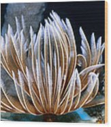 Feather Duster Worms 2 Wood Print