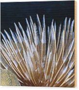 Feather Duster Worms 4 Wood Print