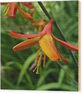 Feathery Orange Crocosmia Wood Print