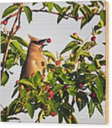 Feeding Cedar Waxwing Wood Print