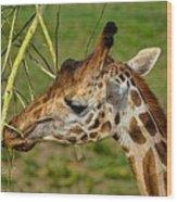 Feeding Giraffe Wood Print