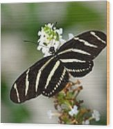 Feeding Zebra Butterfly Wood Print