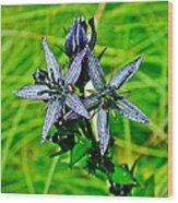 Felwort Or Star Gentian On Otter-bahn Trail In Seldovia-alaska  Wood Print