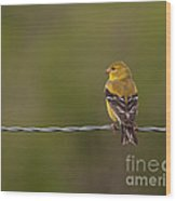 Female American Goldfinch Wood Print