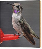 Female Anna's Hummingbird On Perch Posing For Her Supper Wood Print