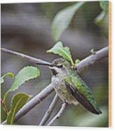 Female Anna's Hummingbird Wood Print