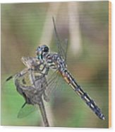 Female Blue Dasher In July  Wood Print
