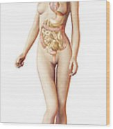 Female Body With Full Endocrine System Wood Print