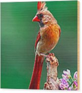 Female Cardinal Posing Pretty  Wood Print