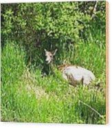 Female Deer Resting Wood Print