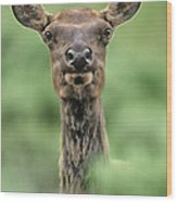Female Elk Portrait Yellowstone National Park Wyoming Wood Print