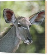 Female Greater Kudu Wood Print