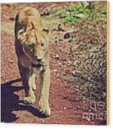 Female Lion Walking. Ngorongoro In Tanzania Wood Print