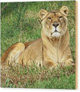 Female Lioness Lying On The Grass In The Afternoon Sun Wood Print