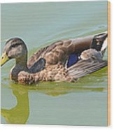 Female Mallard Duck  Wood Print