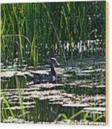 Female Mallard Duck Swimming Wood Print