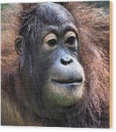 Female Orangutan Borneo Wood Print