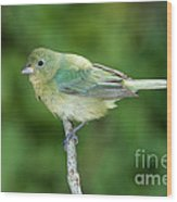 Female Painted Bunting Passerina Ciris Wood Print
