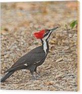 Female Pileated Woodpecker Wood Print
