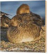 Female Readhead Duck Wood Print
