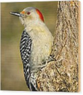 Female Red-bellied Woodpecker Wood Print