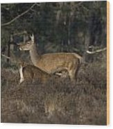 Female Red Deer Suckles Its Young Wood Print