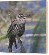 Female Red-winged Blackbird Wood Print