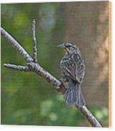Female Red Winged Blackbird Wood Print