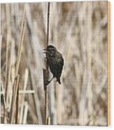 Female Red Winged Blackbird On Marsh Reeds Wood Print