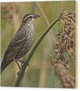 Female Redwing Blackbird Wood Print