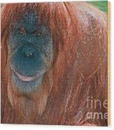 Female Sumatran Orangutan Wood Print