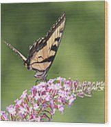 Female Tiger Butterly-1-featured In Macro-comfortable Art And Newbies Groups Wood Print