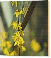 Fenceside Forsythia Wood Print