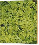 1m2436-ferns At The Base Of Mt. Robson  Wood Print