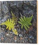 Ferns In Volcanic Rock Wood Print