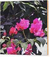 Fernwood Botanical Garden Bougainvillea Niles Michigan Usa Wood Print
