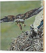 Ferruginous Hawk Bringing Food To Young Wood Print