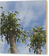 Ficus Leaves Against The Sky Wood Print