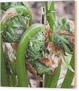 Fiddleheads In Spring Wood Print by Gene Cyr