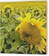 Field Of Blooming Yellow Sunflowers To Horizon Wood Print