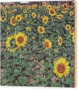 Field Of Sunflowers Wood Print by Adrian Evans