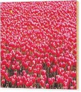 Fields Of Tulips Alkmaar Vicinity Wood Print