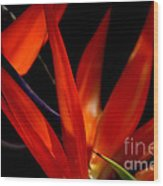 Fiery Red Bird Of Paradise Wood Print