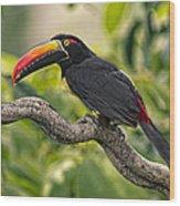 Fiery Tailed Aracari Toucan Out On A Limb Wood Print