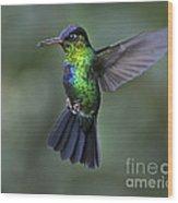 Fiery-throated Hummingbird..  Wood Print