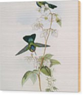 Fiery-throated Hummingbirds Wood Print