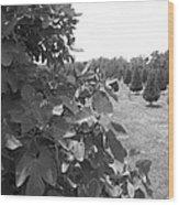 Fig Tree Wood Print